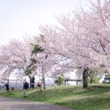 満開のソメイヨシノなどが楽しめる東京の桜名所、大森ふるさとの浜辺公園にある芝生(グリーン)エリアの桜並木と、お花見を楽しむ花見客