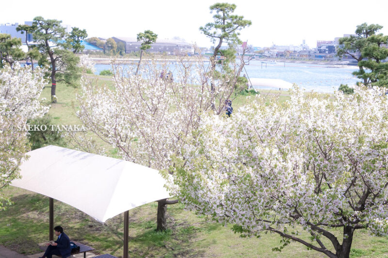満開のソメイヨシノなどが楽しめる東京の桜名所、大森ふるさとの浜辺公園にある船着場周辺の桜並木と、お花見を楽しむサラリーマン