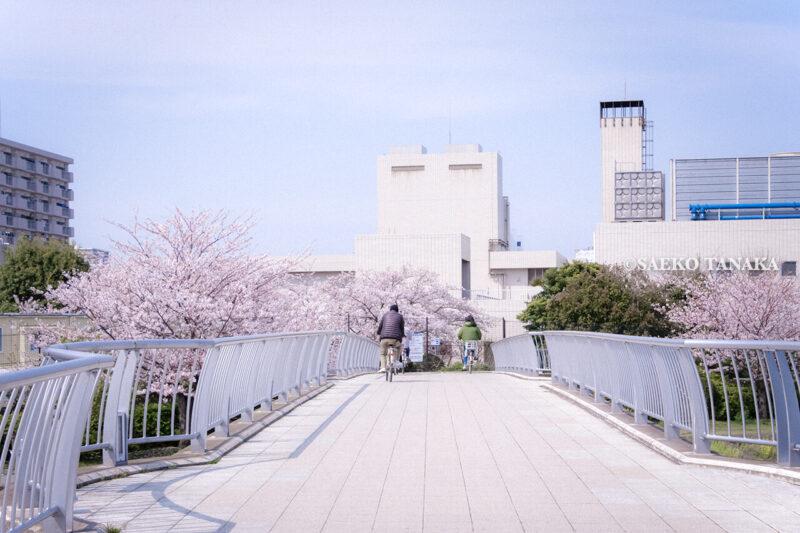 満開のソメイヨシノなどが楽しめる東京の桜名所、大森ふるさとの浜辺公園にある、ふるさとの広場に続く浜辺橋と、自転車で走る花見客