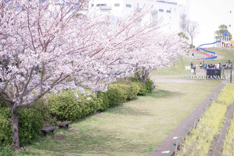 満開のソメイヨシノなどが楽しめる東京の桜名所、大森ふるさとの浜辺公園にある、ふるさとの広場と浜辺橋を結ぶ桜並木と菜の花