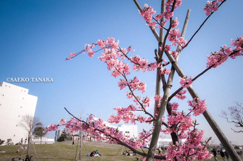 満開の河津桜をはじめ早咲き桜やソメイヨシノなどが楽しめる東京の桜名所、大森ふるさとの浜辺公園にある、ふるさとの広場に咲く河津桜