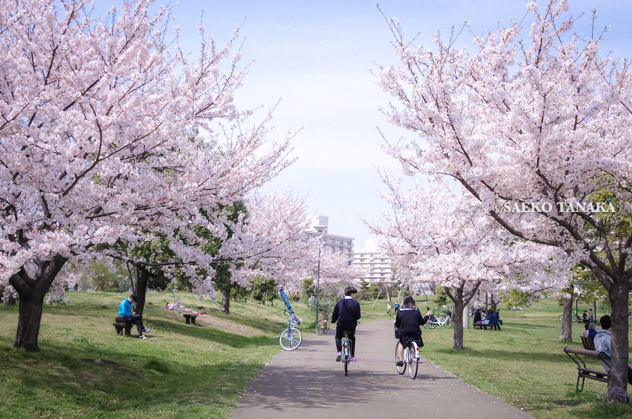 満開のソメイヨシノなどが楽しめる東京の桜名所、大森ふるさとの浜辺公園にある芝生(グリーン)エリアの桜並木と、散策路を自転車で走るカップル、写真撮影する花見客