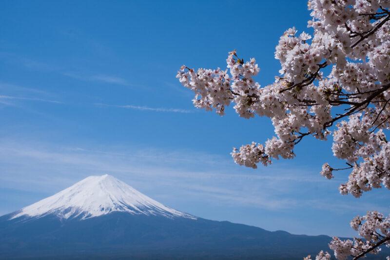 快晴の空の下に広がる、日本を代表する花である満開の桜と、日本を代表する山の富士山