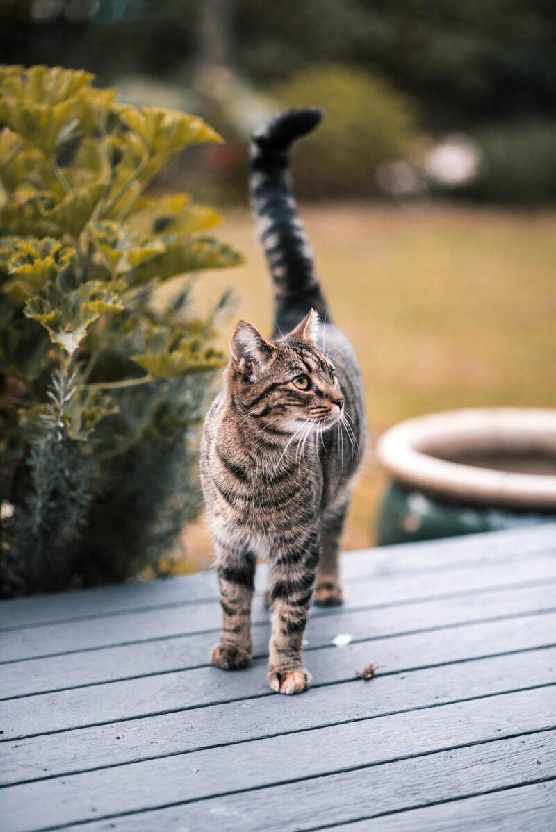 読みたくないブログとしてPV減少の原因とも酷評される会話形式の吹き出しの導入を嫌っていたからこそ、ブログに会話形式の吹き出しを効果的に導入するためにキャラクターとなる猫が縁側であたりを警戒している姿を眺める