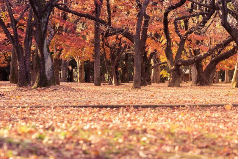 快晴の空の下に広がる、真っ赤、真っ黄色に染まった紅葉・黄葉の樹々とじゅうたんの美しい風景