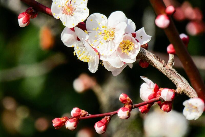 快晴の空の下に広がる、日本を代表する花である満開の梅