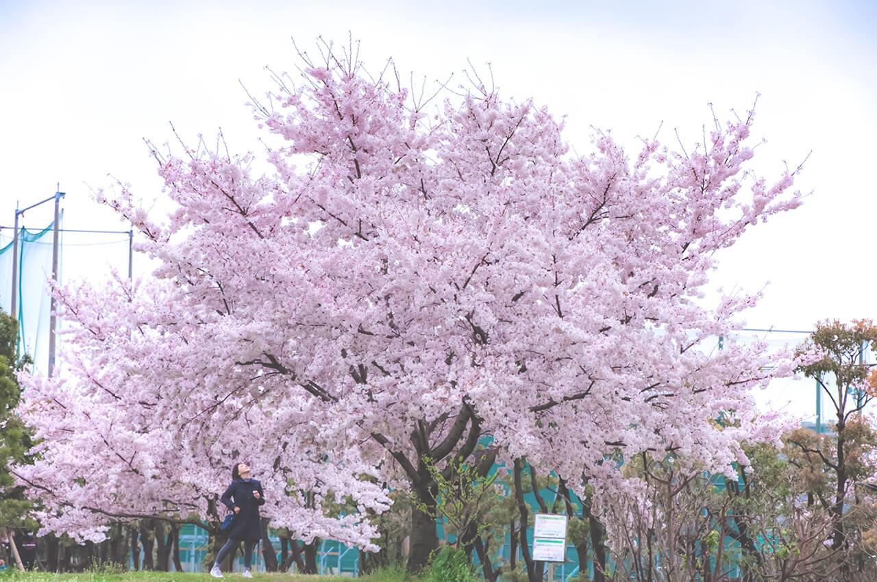 大森ふるさとの浜辺公園の桜 ©SAEKO TANAKA